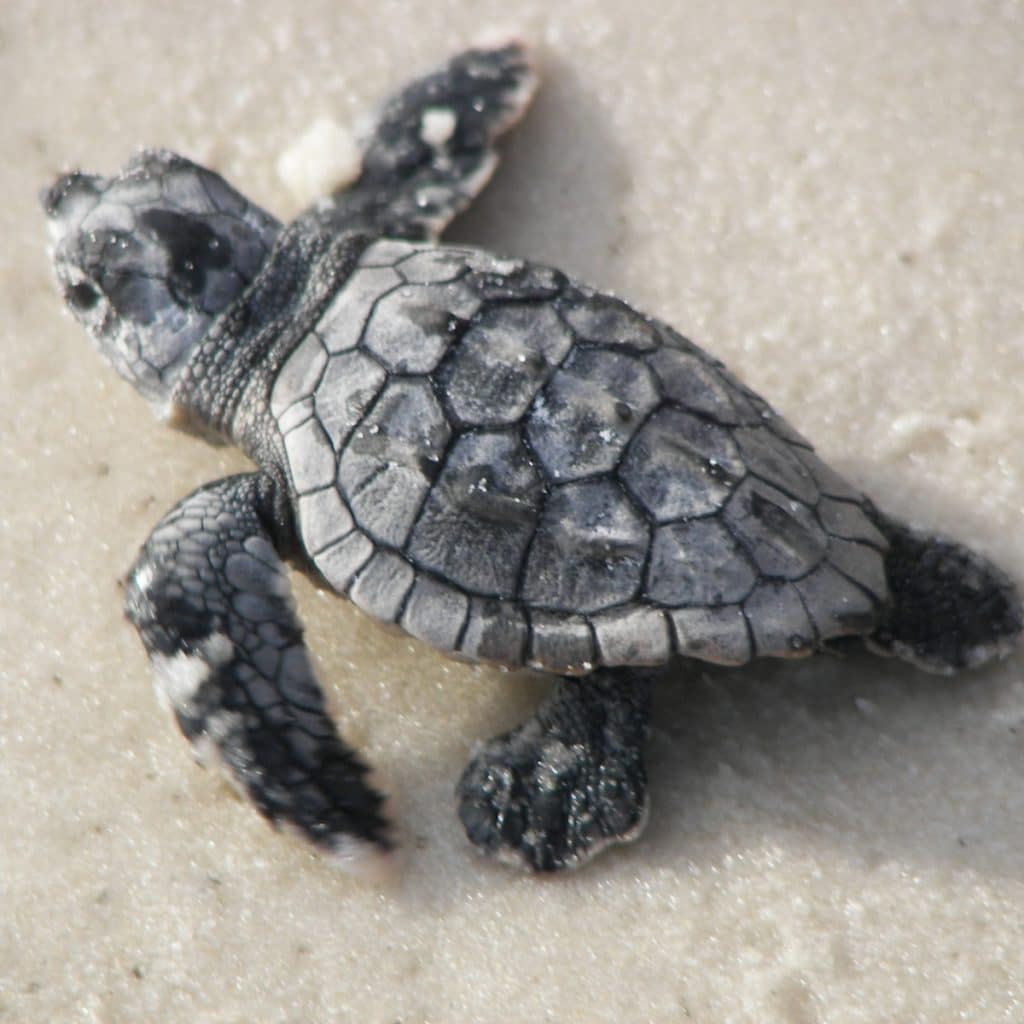 Baby sea turtle on Alligator Point Florida