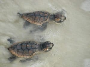 Baby Sea Turtles swimming for the first time