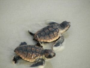 Two baby Sea Turtles heading to the water