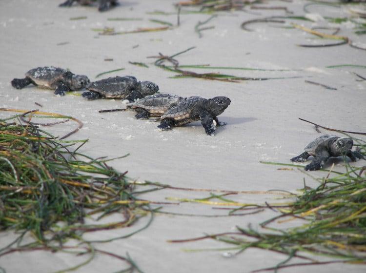 Baby Sea Turtles on St. George Island Beach