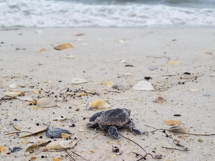 hatchling loggerhead makes its way to the water