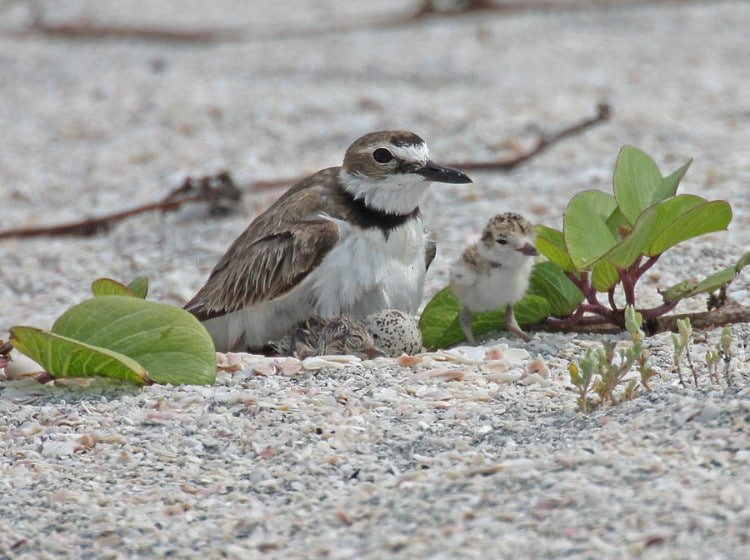 Springtime is for Nesting on the Forgotten Coast