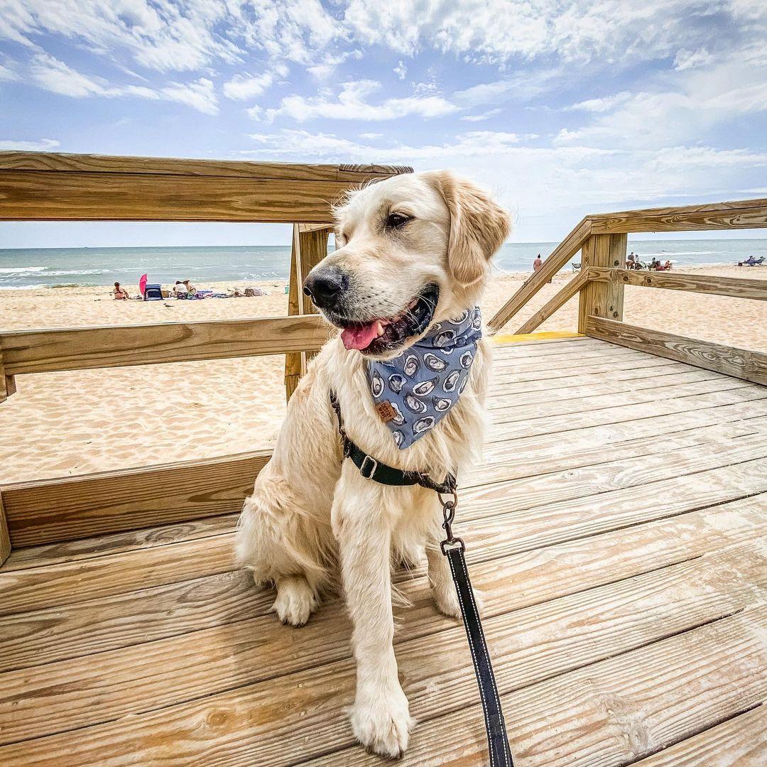 Dog on Boardwalk with St. George Island Beach FL in the background
