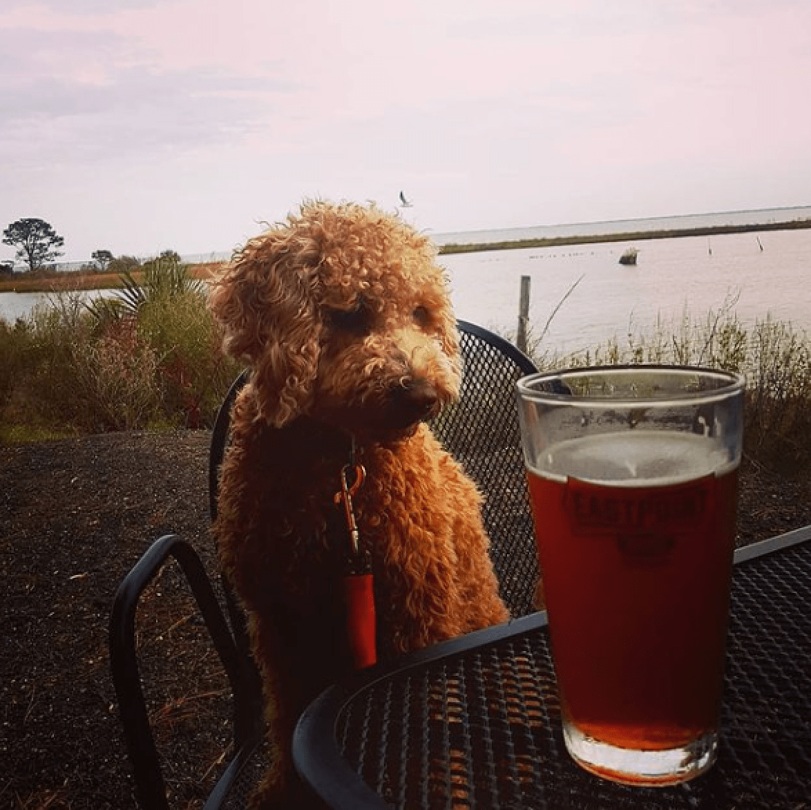 Dog looking at Cold Beer at Eastpoint Beer Company in Eastpoint, FL