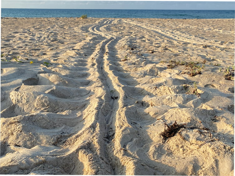 Sea Turtle Tracks on St. George Island
