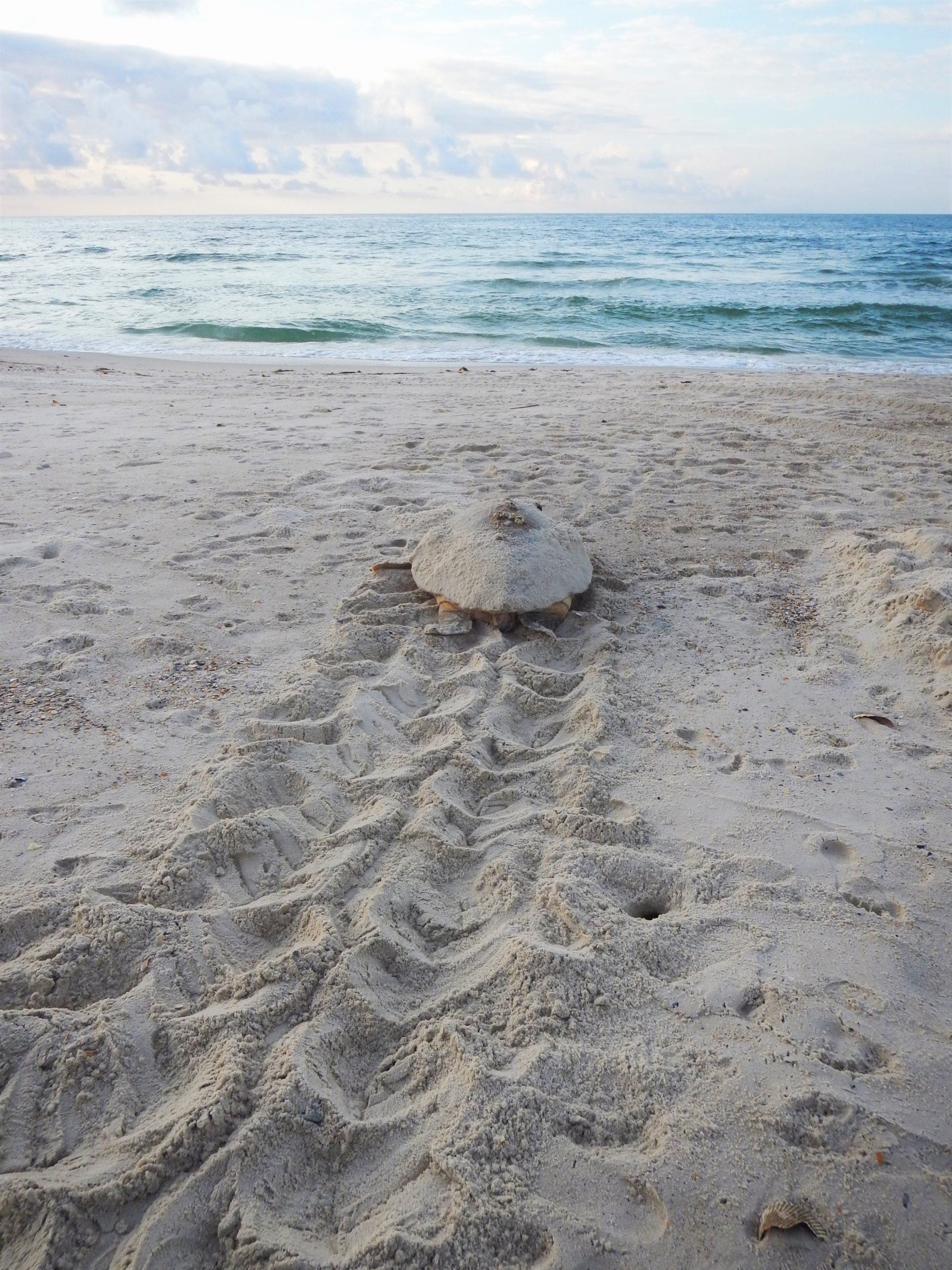 Sea Turtle Walking Back to Gulf of Mexico on St. George Island, FL
